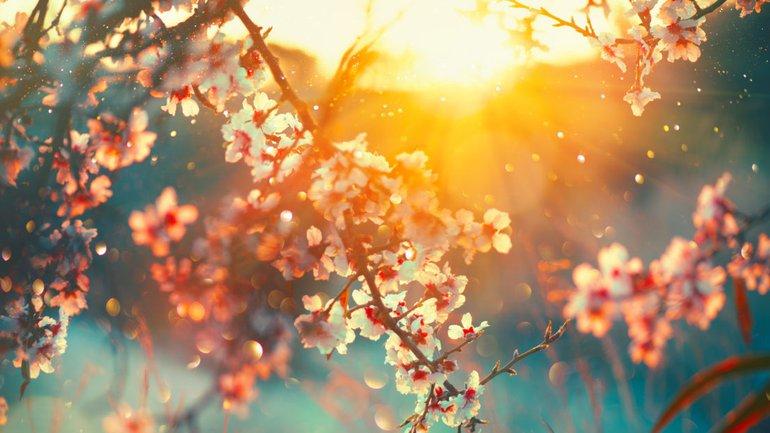 L'amandier fleuri