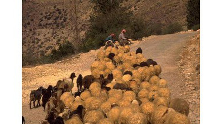 Le Berger des brebis