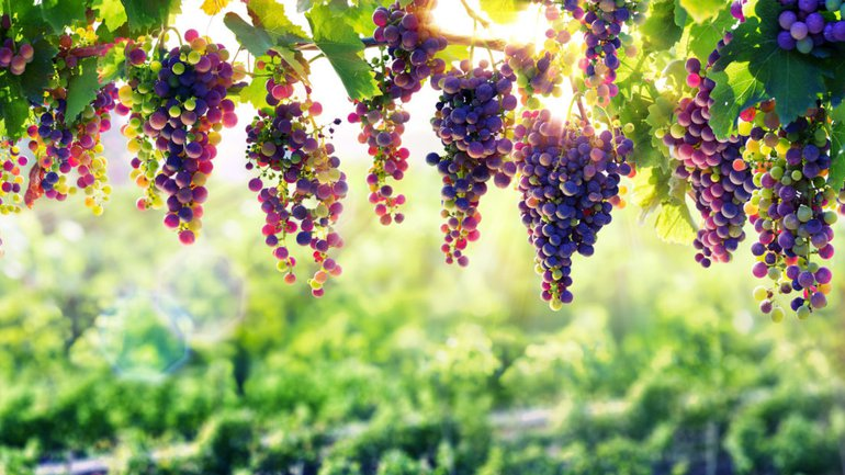 La vigne féconde