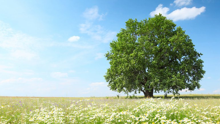 Le chêne imposant