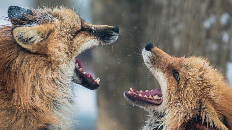 Les renards qui détruisent l'unité