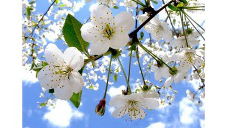 Les pommiers sont en fleurs