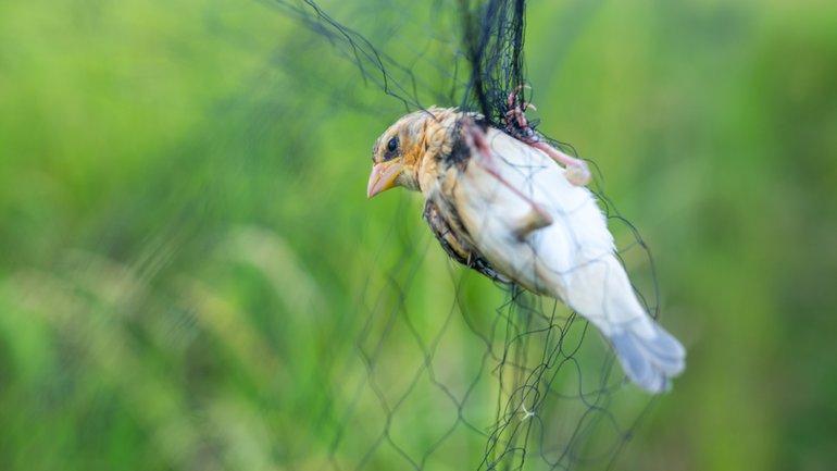 Le filet de l'oiseleur