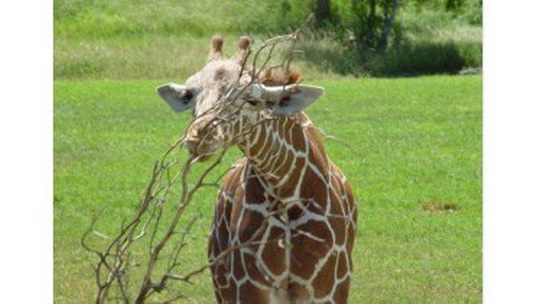 Un vol de girafes