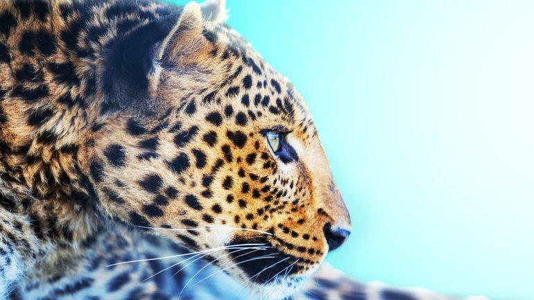 Le rapide léopard