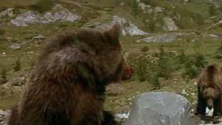 Le courage d'un petit ourson