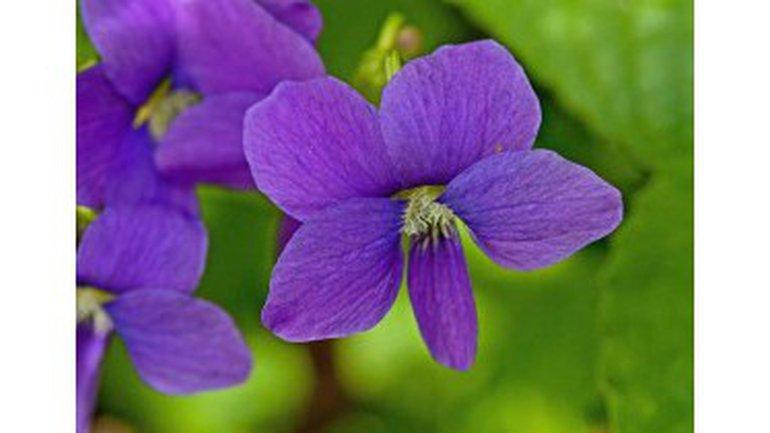 Fayola, une violette dans la ville