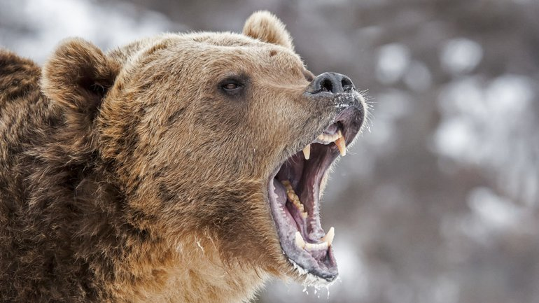 Gronder comme l'ours
