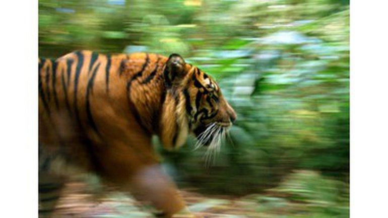 Le syndrome du tigre