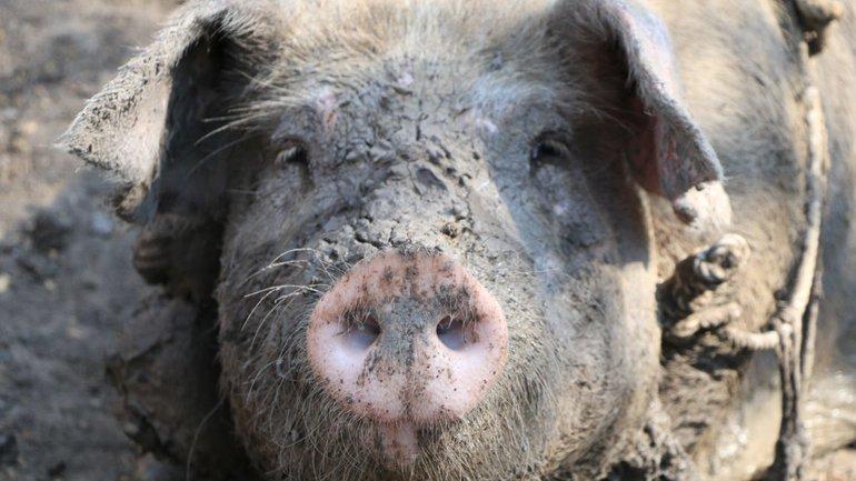 Le porc dans sa boue
